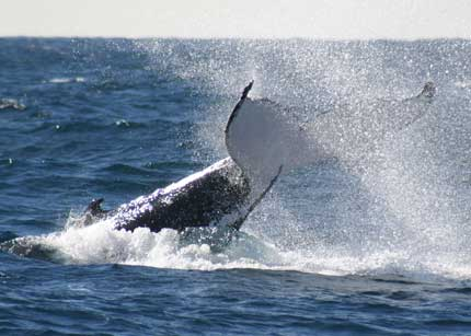 Whale Watching Sydney - Accommodation Adelaide