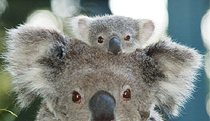 Billabong Koala and Wildlife Park - Accommodation Adelaide