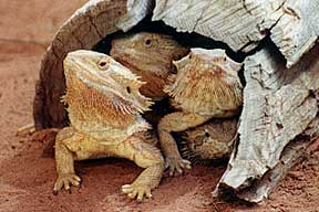 Alice Springs Reptile Centre - Accommodation Adelaide