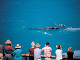 Whale Watching At Head Of Bight - Accommodation Adelaide