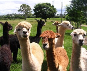 Banyandah Alpacas - Accommodation Adelaide