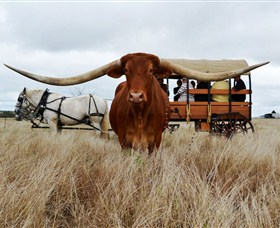 Texas Longhorn Wagon Tours and Safaris - Accommodation Adelaide