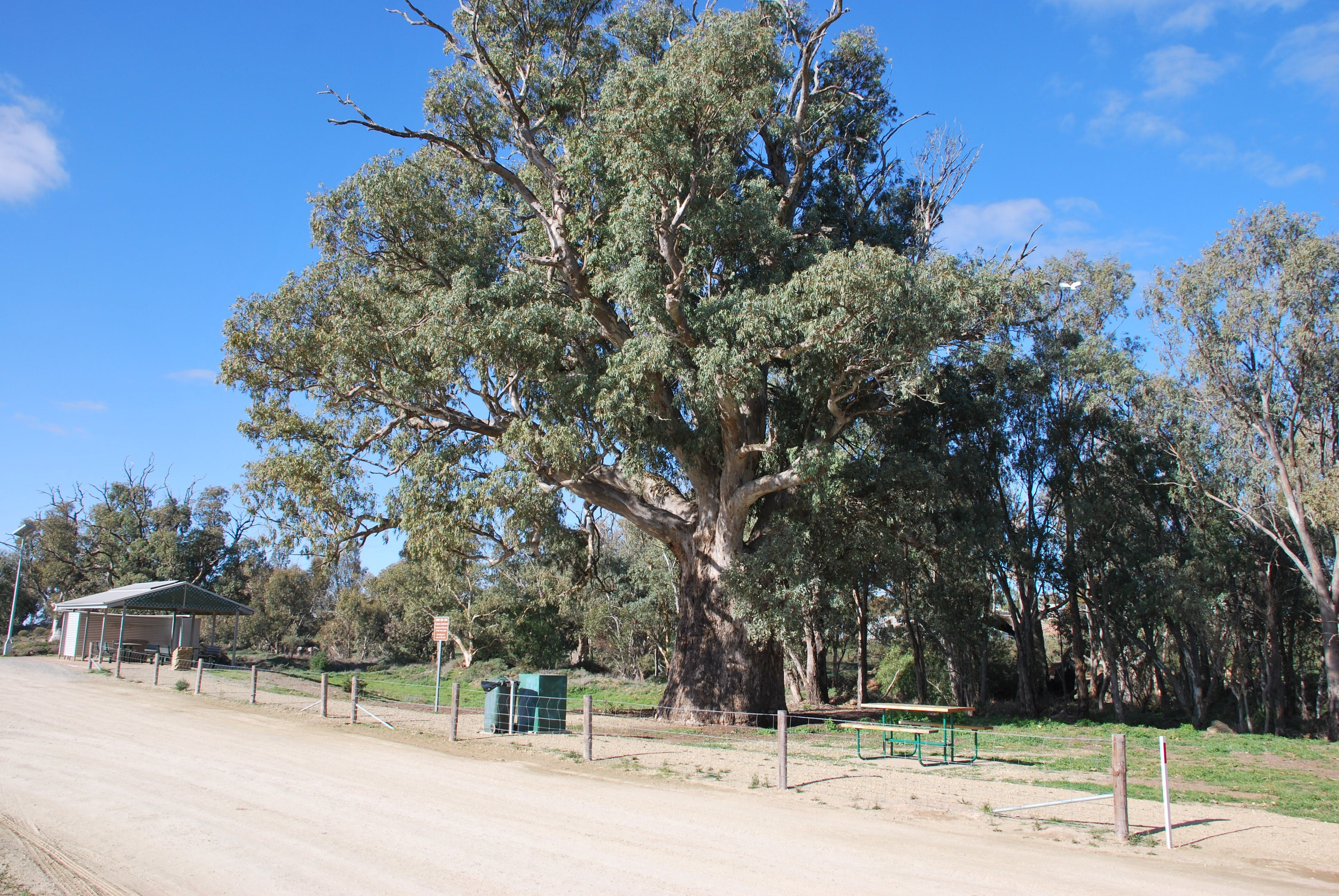 Giant Gum Tree - Accommodation Adelaide