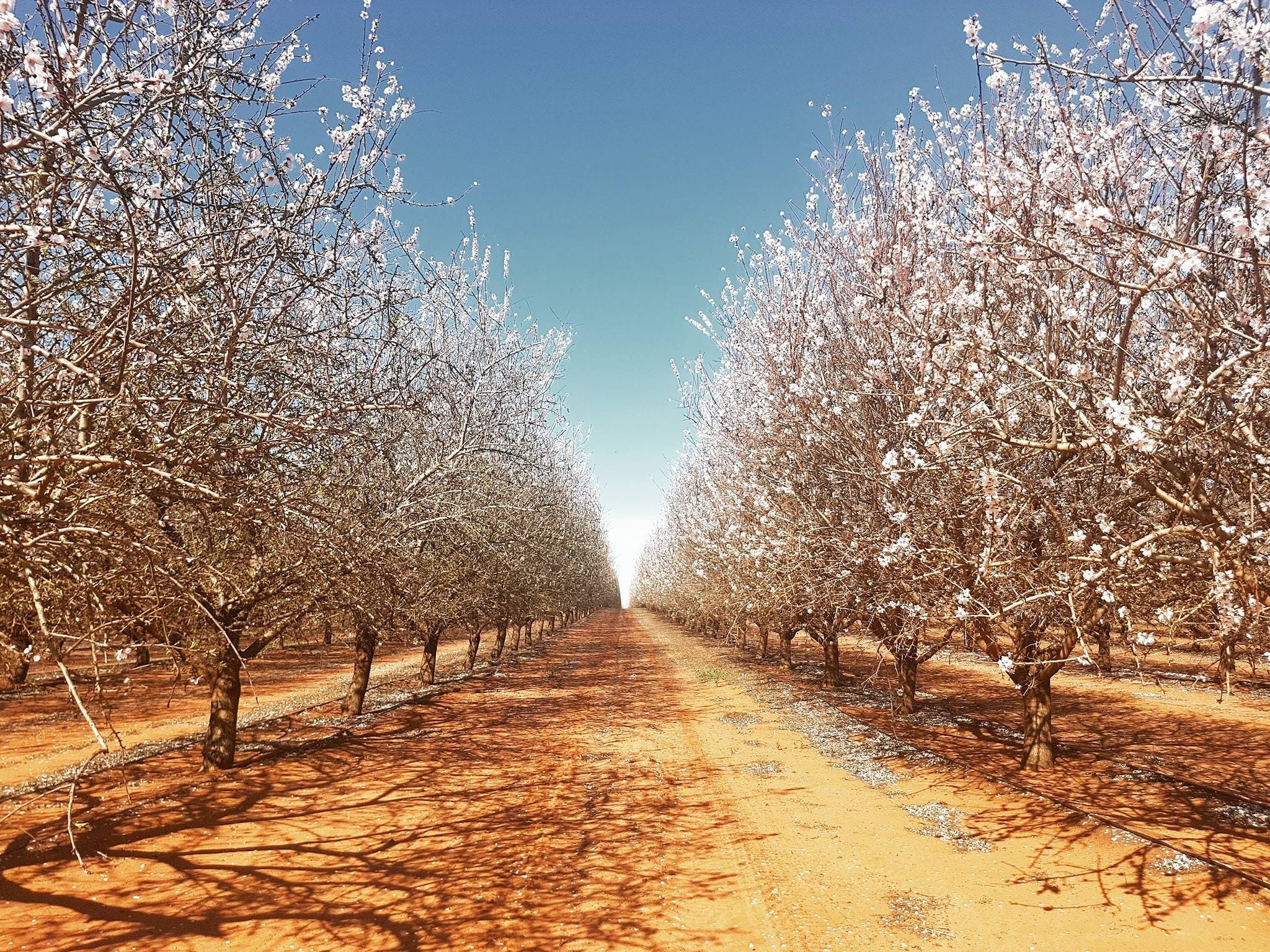 Mallee Almond Blossom Festival - Accommodation Adelaide