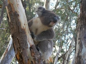 Annual Koala Count - Accommodation Adelaide