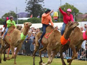 Camel Races at Penrith Paceway - Accommodation Adelaide