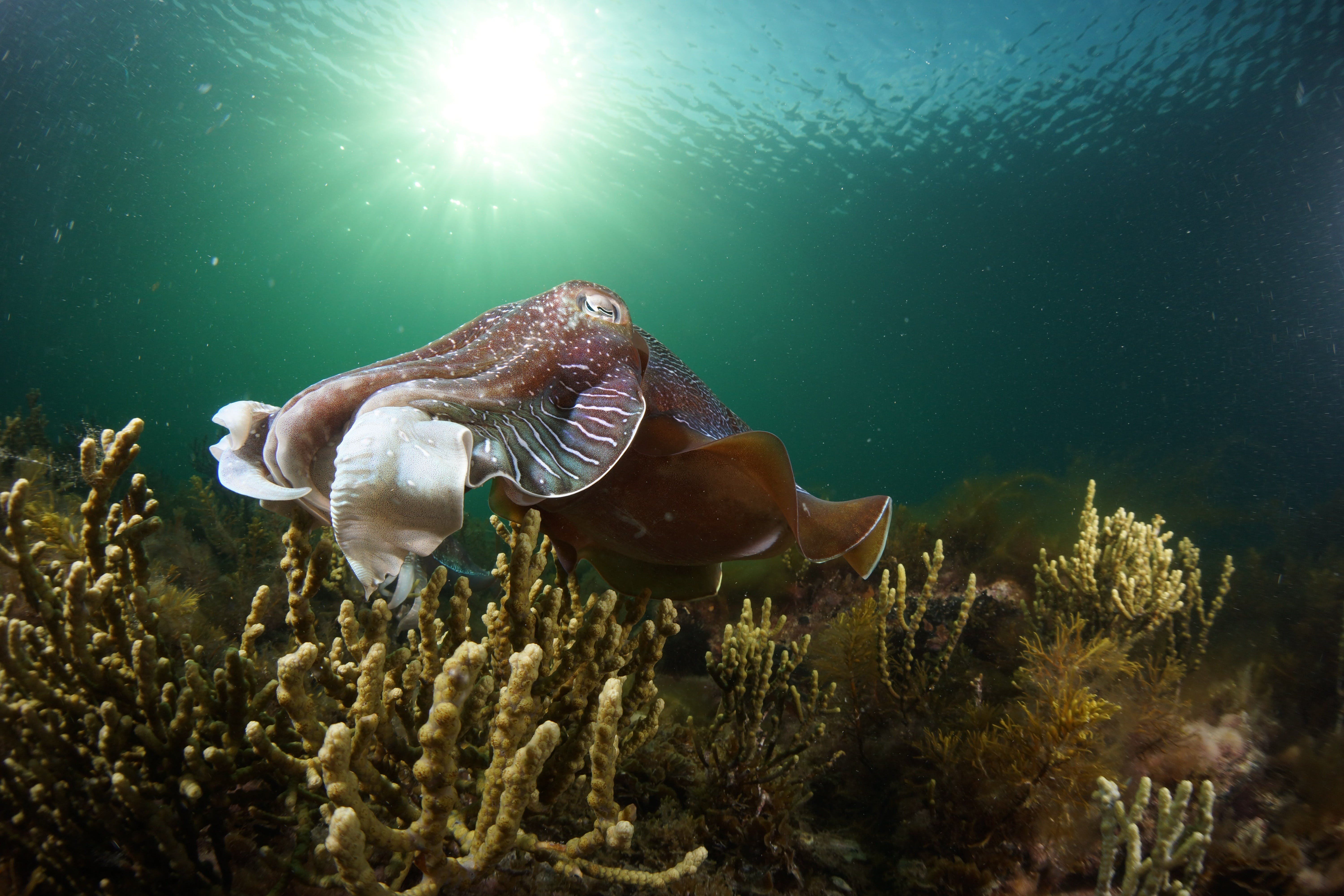 Cuttlefish Diving  Snorkeling EVERYDAY May -August - Accommodation Adelaide
